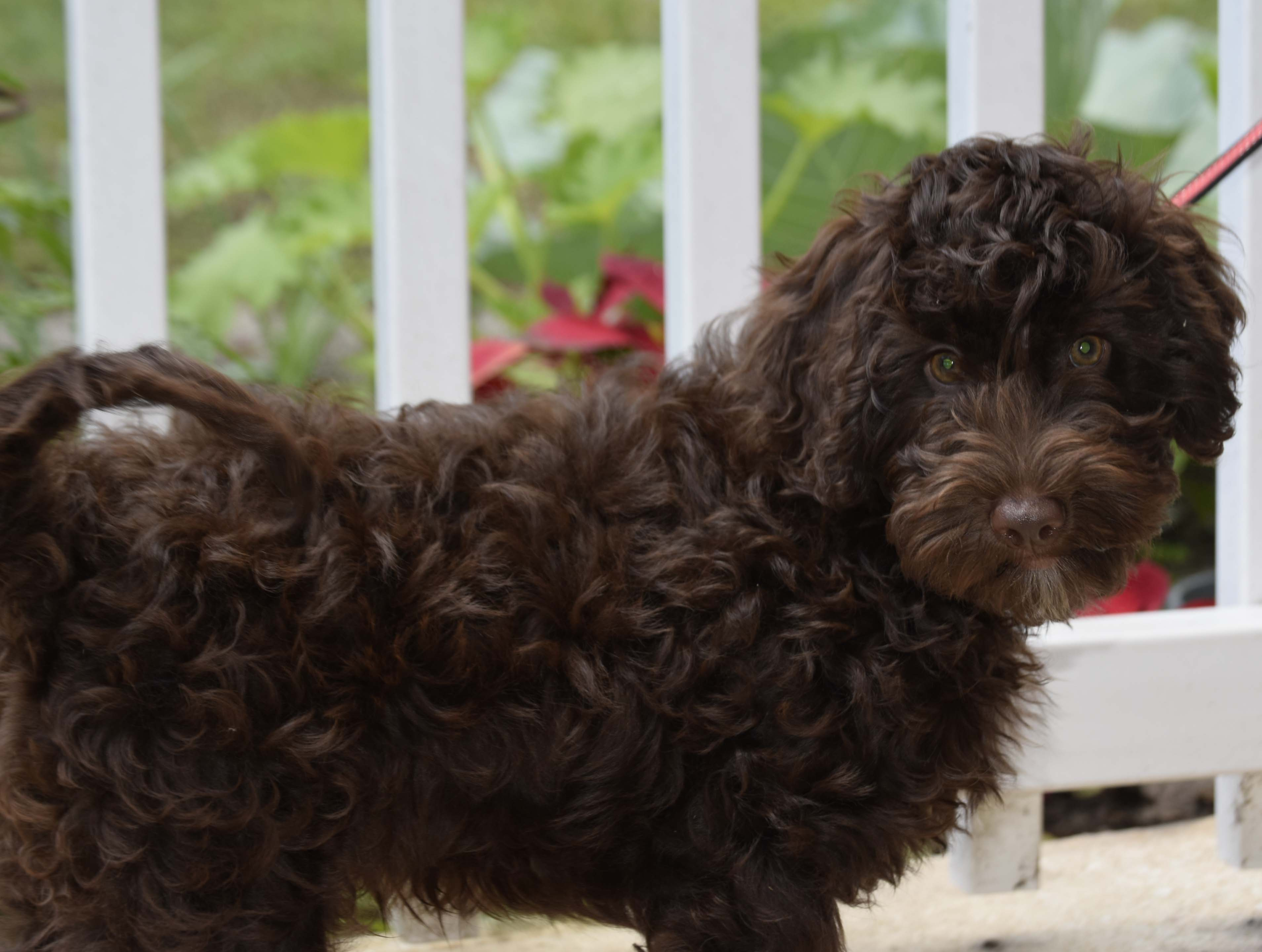 Ollie Male  Available — (On Hold)